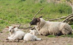 母羊萨福克三胞胎 免版税库存图片