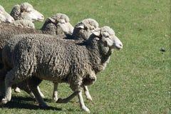 母羊绵羊 免版税库存图片
