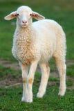 母羊 库存图片