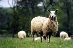 母羊 库存照片