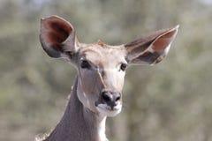 母羊kudu 库存图片
