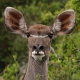 母羊kudu 免版税库存图片