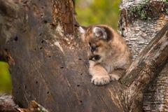 母美洲狮小猫& x28; 美洲狮concolor& x29;在树弯曲处  免版税库存图片