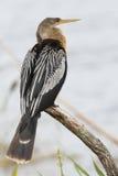 母美洲蛇鸟在分支-墨尔本,佛罗里达栖息 图库摄影