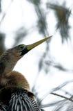 母美洲蛇鸟在Wakodahatchee沼泽地 库存图片