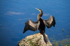 母美洲蛇鸟 库存照片