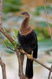 母美洲蛇鸟 库存图片