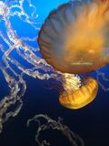水母舞蹈 免版税库存照片