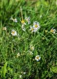 母菊属chamomilla开花在草甸 库存图片