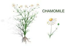 母菊属recutita的植物的例证 免版税库存图片