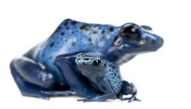 母蓝色和黑色毒物箭青蛙 库存图片