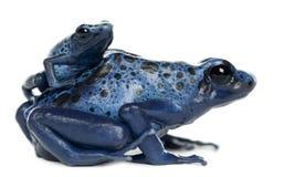 母蓝色和黑色毒物箭青蛙 免版税库存照片