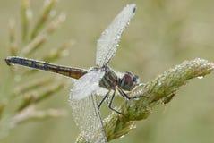 母蓝色dasher蜻蜓 库存照片