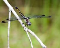 母蓝色Dasher蜻蜓- Pachydiplax longipennis 免版税库存图片
