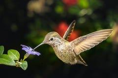 母蜂鸟和一朵小蓝色花离开角度图 免版税库存照片