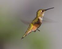 母蜂鸟 免版税库存照片