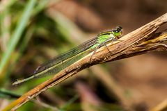 母蜻蜓天蓝色的蜻蜓Coenagrion puella 免版税库存图片