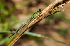 母蜻蜓天蓝色的蜻蜓Coenagrion puella 图库摄影