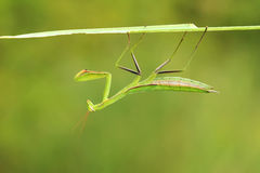母螳螂若虫 图库摄影