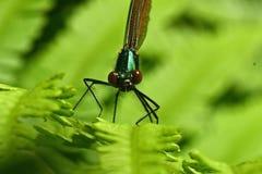 母被结合的蜻蜓,calopteryx splendens 库存图片