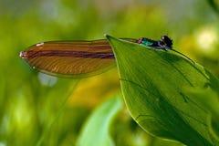 母被结合的蜻蜓,calopteryx splendens 免版税库存图片