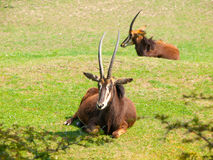 母貂羚,弯角羚属尼日尔,躺下在大草原,肯尼亚,非洲 免版税库存图片