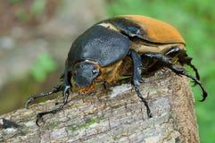 母赫拉克勒斯甲虫 库存图片