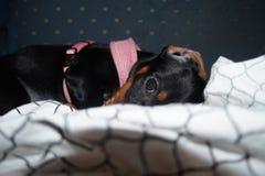 母达克斯猎犬小狗,贝里 免版税库存图片