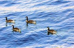 母野鸭在一个梯形样式的湖低头漂浮 免版税库存照片
