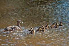 野鸭(语录platyrhynchos),女性用她的十二只鸭子 免版税库存照片