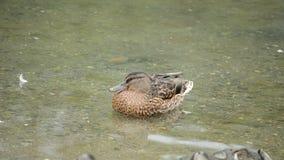 母野鸭鸭子在镇静夏天池塘水中 股票录像