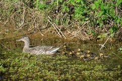 母野鸭鸭子用鸭子 库存照片
