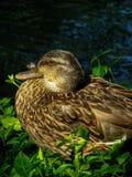 母野鸭鸭子1 库存图片