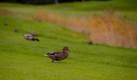 母野鸭,语录platyrhynchos 图库摄影