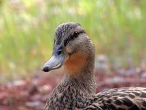 母野鸭-苏济 库存图片