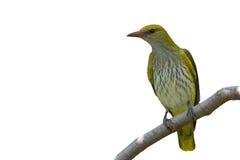 母金黄金莺类 库存照片