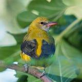 母金黄金莺类从后面 库存照片
