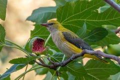 母金黄金莺类和半被吃的无花果果子 免版税库存图片