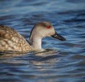 母长尾凫鸭子在南乔治亚海岛 库存照片