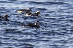 母长尾的鸭子和一个小组漂浮在水da 免版税库存照片