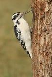 母长毛的啄木鸟& x28; Picoides villosus& x29; 免版税库存图片