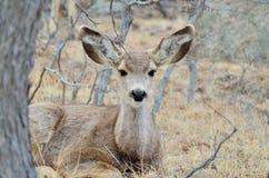 与一岁的长耳鹿母鹿 免版税库存图片