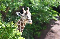 母长颈鹿 库存照片