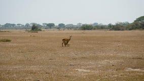 母飞羚羚羊哺养牛奶对她的在野生生物非洲平原的小小牛 股票视频
