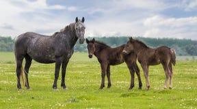 母马和两驹在草甸 免版税图库摄影
