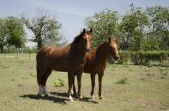 母马和公马 库存图片