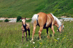 母马和她的马驹 免版税库存照片
