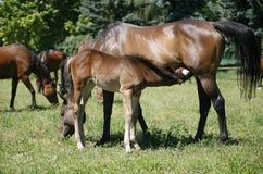 母马和她的驹在草甸 免版税库存图片