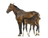 母马和她的驹的侧视图 免版税图库摄影