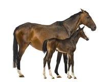 母马和她的驹的侧视图 免版税库存图片